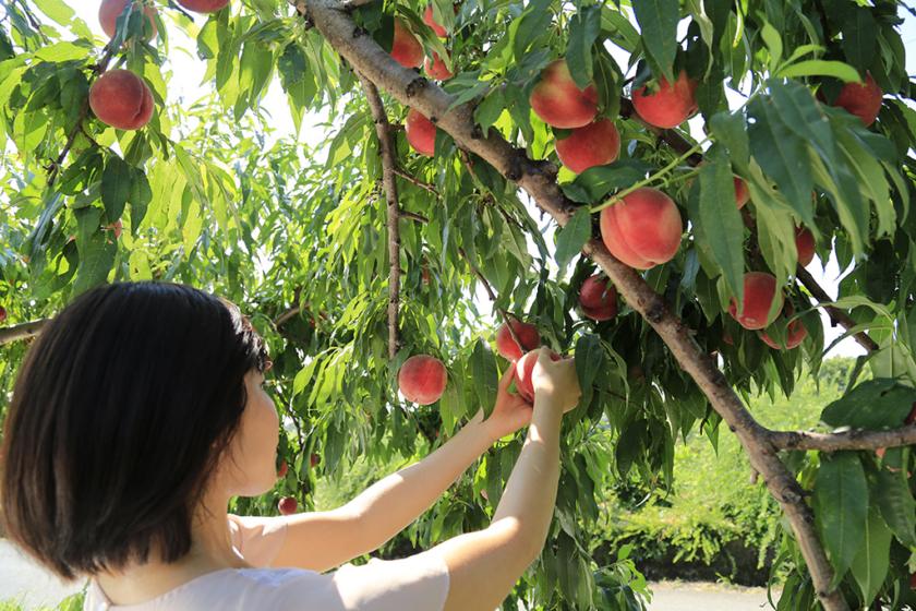 ▲夏季也有不少果園開放採果