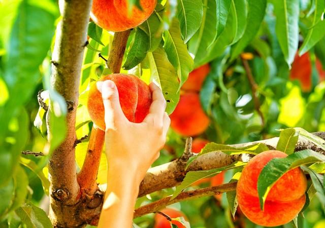 拉拉山採水蜜桃