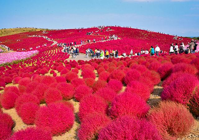 【季節限定】森之風那須嚴選之宿.世界級掃帚草旅秋豐五日